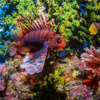 Red Lionfish in Amed, Bali thumbnail