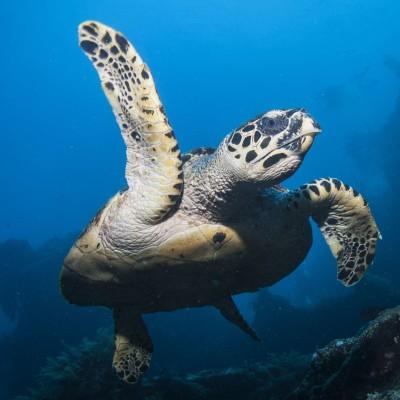 Sea Turtle on the USAT Liberty Shipwreck in Tulamben thumbnail