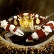 Crab Macro in Tulamben thumbnail