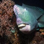 Giant Humphead Parrotfish in Tulamben, Bali thumbnail