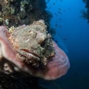 Stonefish in Tulamben, Bali thumbnail