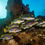 School of Indian Ocean Oriental Sweetlips in Tulamben thumbnail