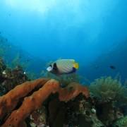 Emperor Angelfish in Tulamben thumbnail