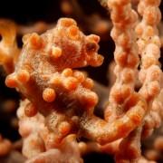 Pygmee Sea Horse in Sera Secret in Bali thumbnail
