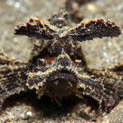 Brown Frogfish in Tulamben, Bali thumbnail