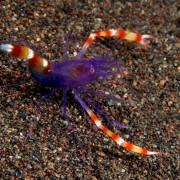 Purple Banded Coral Shrimp, Macro in Kubu Monkey thumbnail