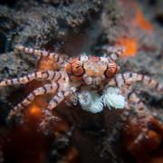 Boxing Crab in Drop Off, Bali thumbnail