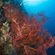 Soft Red Coral Fan on Tulamben Wall, Drop Off thumbnail