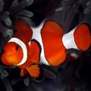 Clown Fish in Coral Garden, Bali thumbnail