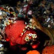 Peacock Mantis Shrimp in Tulamben, Bali thumbnail