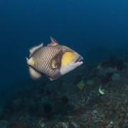 Titan Triggerfish in Coral Garden, Tulamben thumbnail
