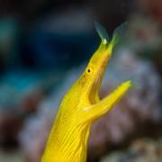 Yellow Ribbon Eel in Coral Garden, Tulamben thumbnail