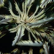Peacock Worm in Coral Garden, Bali thumbnail