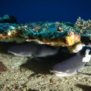 Whitetip Reef Sharks in Batu Kelebit, Tulamben, Bali thumbnail