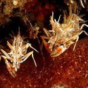 Tiny critters in Tulamben, Bali thumbnail