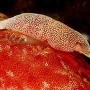 Macro Shrimp species in Tulamben, Bali thumbnail