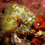 Southern Blue-ringed Octopus in Tulamben, Bali thumbnail