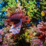 Amazing Liofish in POS 2, Dive in Menjangan Marine Park thumbnail