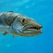 Barracuda close up in Gili Selang Bay, Amed, Bali thumbnail