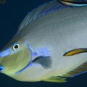 Bignose Unicornfish in Bunutan, Amed, Bali thumbnail