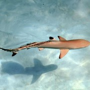 Blacktip Shark in Eels Garden, Menjangan Marine Park thumbnail