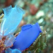 Blue-Sea-Squirts thumbnail