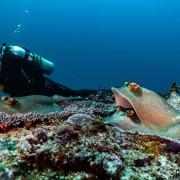 Blue Spotted Stingray in Bali Manta Point, Nusa Lembongan thumbnail