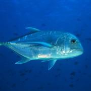 Bluefin Trevally in SD, Nusa Penida thumbnail