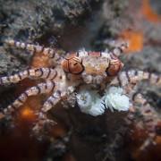 Boxing-crab thumbnail