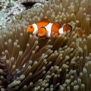 Clow fish in Anemone, Menjangan thumbnail