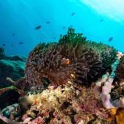 Clown fish in Anemone in Bali Manta Point, Nusa Penida thumbnail