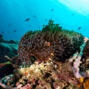 Clown fish in Anemone in Pontoon, Nusa Lembongan thumbnail