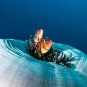 Clown Fish in Anemones in Tulamben thumbnail