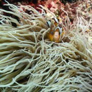 Clown Fishes in Anemone in Cave Point thumbnail
