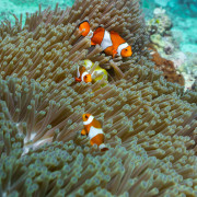 Clown Fishes in Anemone in Menjangan Marine Park thumbnail