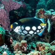 Clown Triggerfish in Santal, Nusa Penida thumbnail