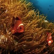 Clownfish-family thumbnail