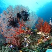Coral diversity in POS 2, Menjangan thumbnail