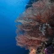 Coral wall in Cave Point, Menjangan thumbnail
