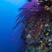 Coral wall in Eels Garden, Menjangan Marine Park thumbnail