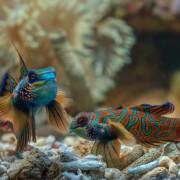 Couple of Mandarin Fishes on the White Sand floor of Mandarin Point thumbnail