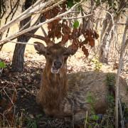 Deer on Menjangan island thumbnail