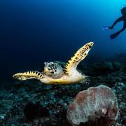 Dive with Sea Turtle in Mangrove, Nusa Penida thumbnail