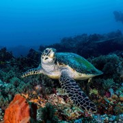 Dive with Sea Turtle in Pura PED, Nusa Penida thumbnail