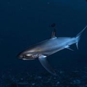 Dive with Thresher Shark in Pura PED, Nusa Penida thumbnail