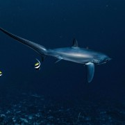 Dive with Thresher Shark in Sampalan, Nusa Penida thumbnail