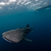 Dive with Whale Shark in SD, Nusa Penida thumbnail