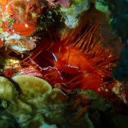 Electric-clam-night-dive-Tulamben thumbnail