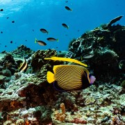 Emperor Angelfish in SD, Nusa Lembongan thumbnail