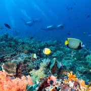 Emperor Angelfish in Toyapakeh, Nusa Lembongan thumbnail